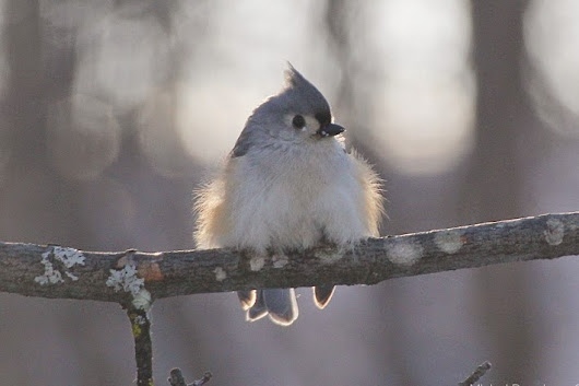 MikeyBoy's Blog: All puffed up, that Titmouse!
