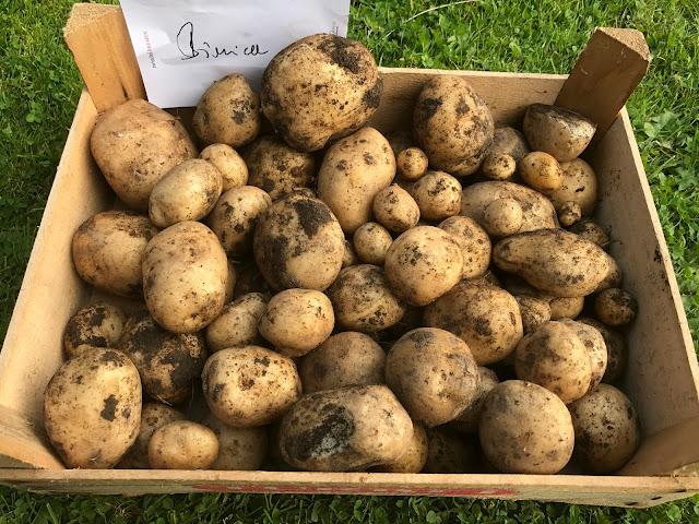 Kartoffeln der Sorte Bionica  (c) by Joachim Wenk