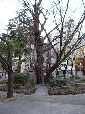 東天満公園にある銀杏のご神木