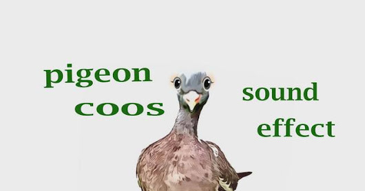 How A Pigeon Coos - Sound Effect - Animation