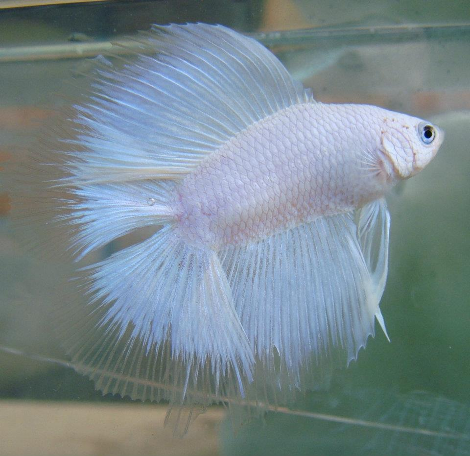All about betta fish: white double-tail betta halfmoon