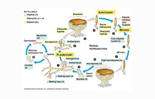 Reproduksi Ascomycota, Siklus Hidup Ascomycota
