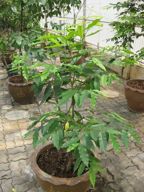 Cây Trầm Hương - Aquilaria agallocha - Nguyên liệu làm thuốc Chữa Đi Lỏng-Đau Bụng