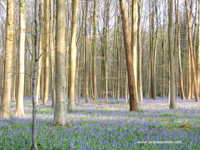 Hallerbos Floresta Azul