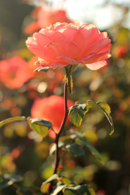 Coral Rose in the Morning Sunshine - Flower Photography by Mademoiselle Mermaid.