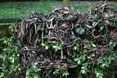 جزيرة الثعبان _Snake Island_هي جزيرة تقع قبالة سواحل البرازيل Thumby9e4vb0log