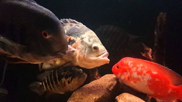 Penyakit Ikan Oscar