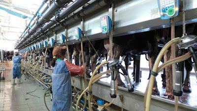Tuyển 18 nữ lao động làm công việc chăn nuôi, vắt sữa bò tại Hokkaido Nhật Bản