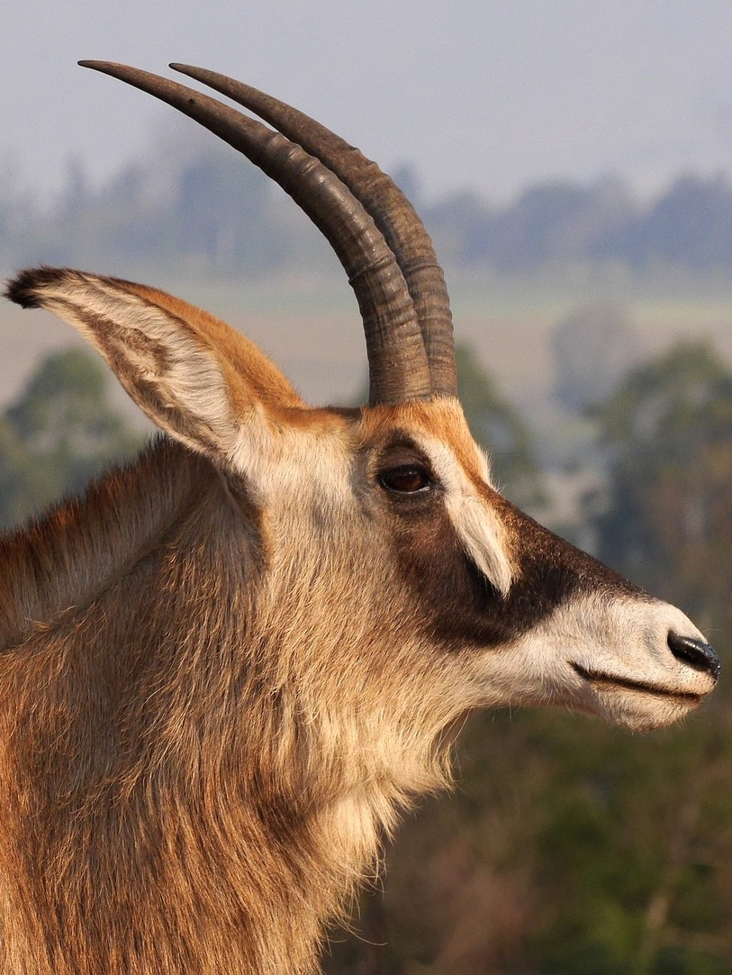 Head shot of a roan antelope.