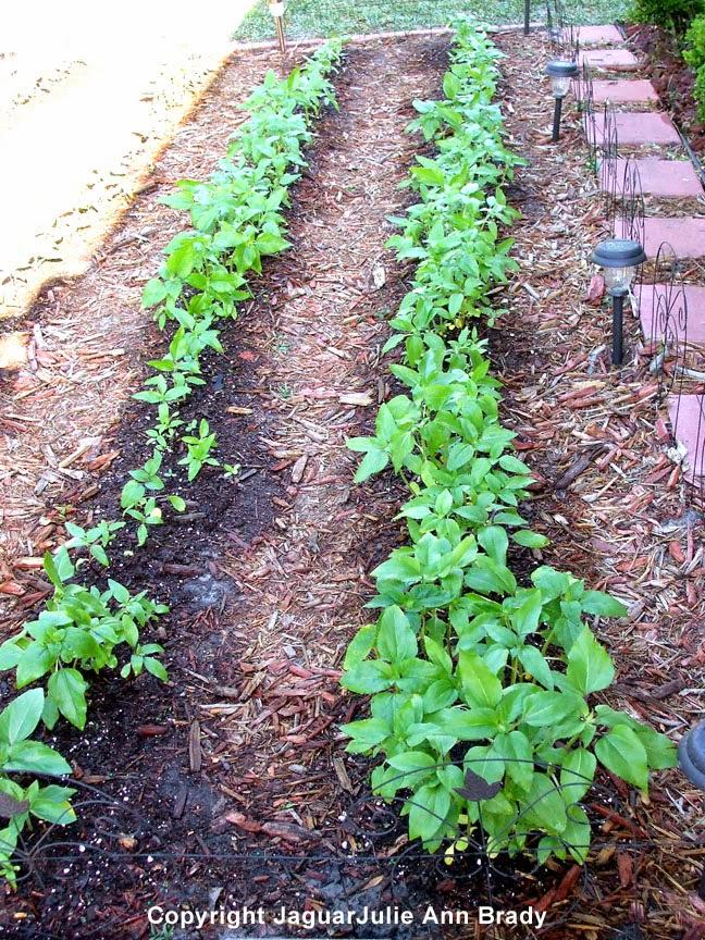 Sunflower Seedlings Prospering at 30 Days ~ JaguarJulie