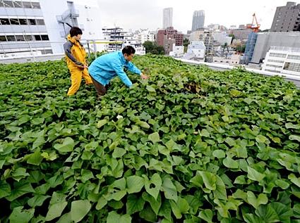 My Little Vegetable Garden Roof Top Vegetable Gardening