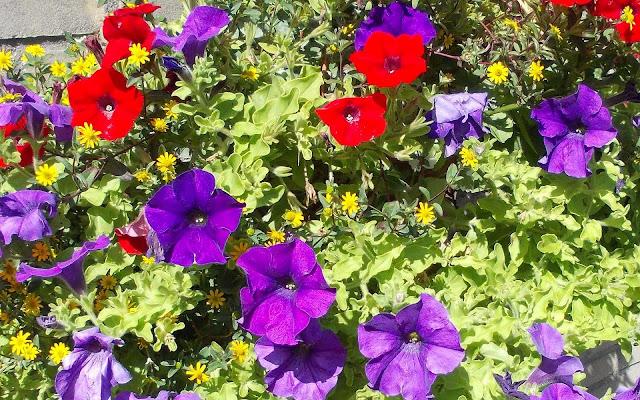 Rode en paarse bloemen bureaublad achtergrond