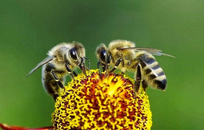 Los antófilos conocidos comúnmente como abejas, son un clado de insectos himenópteros, sin ubicación en categoría taxonómica, dentro de la superfamilia Apoidea.