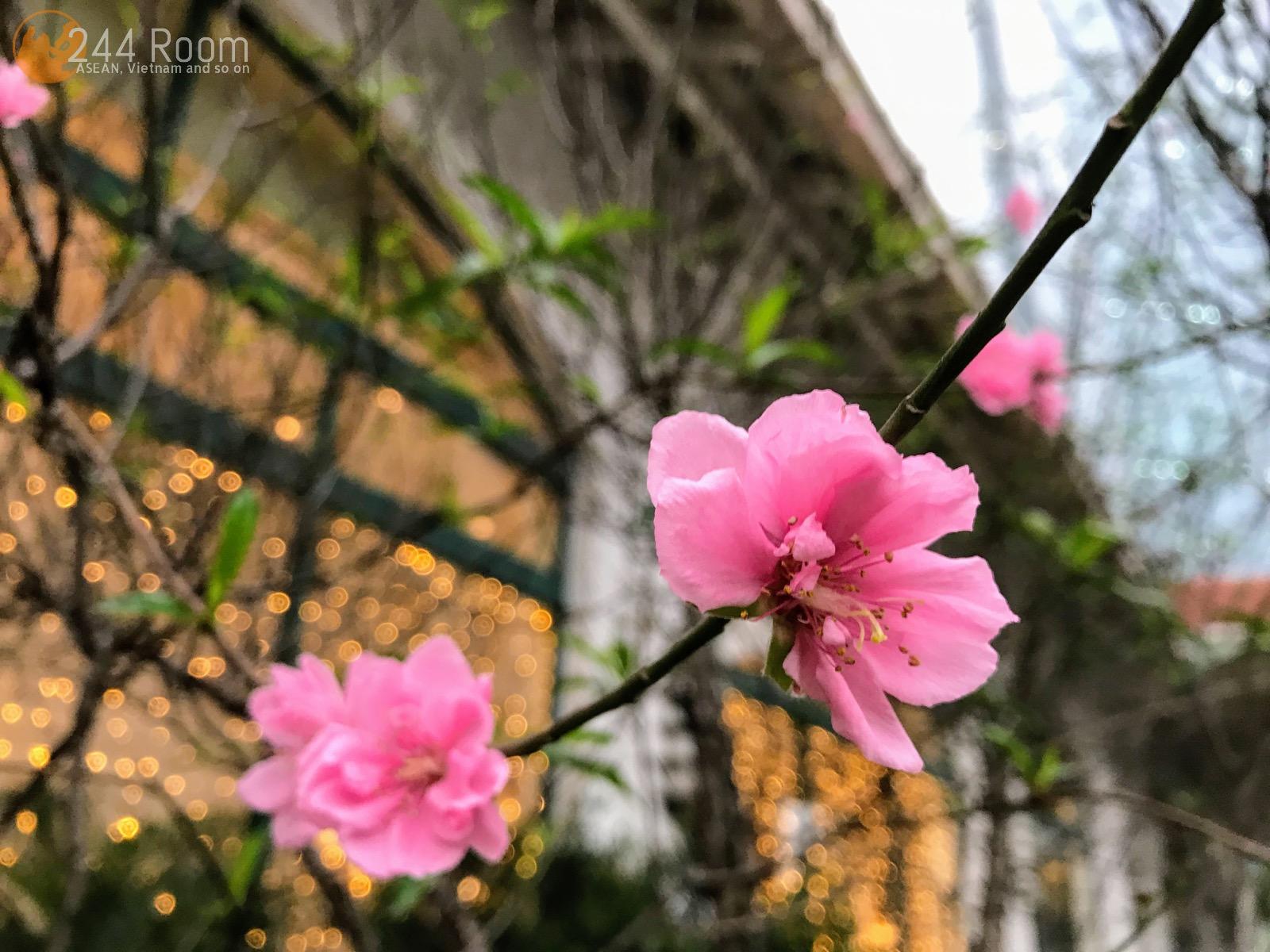 Peach-blossom-hanoi ハノイの桃の花