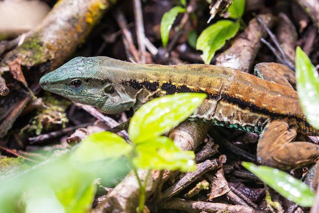 Lagarto en Arenal, Costa Rica