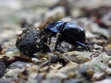 Kumbang Kotoran, Fakta dan Informasi Menarik Lainnya