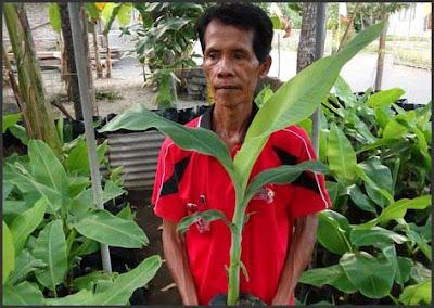 Budidaya Pisang Oleh Pak Lasiyo