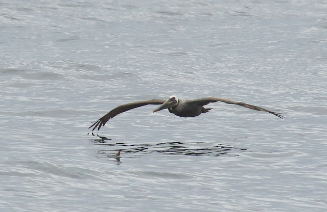 A Brown Pelican dwarfs a Red-necked Phalarope