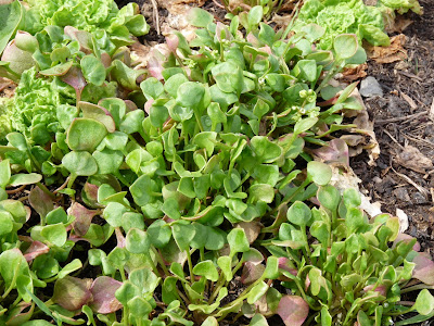 Miners' Lettuce