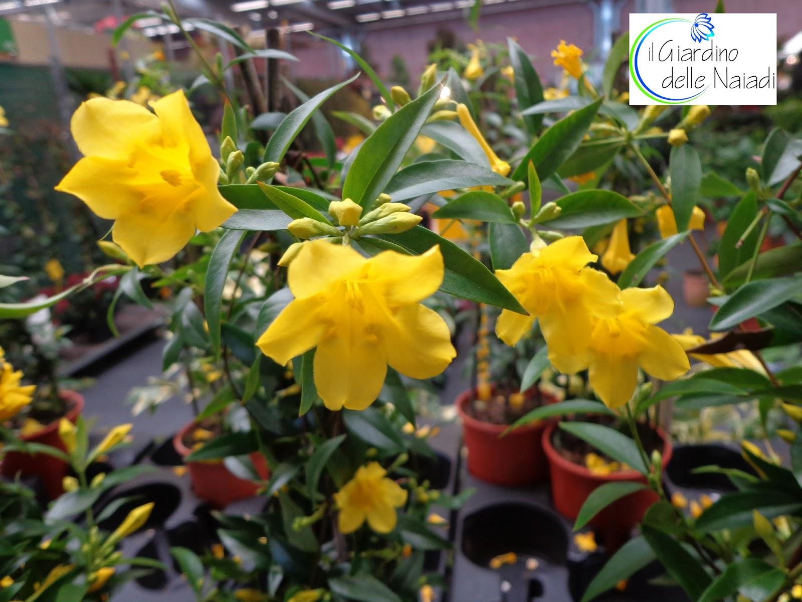 Il giardino delle naiadi gelsemium sempervirens un - Rampicanti a crescita rapida ...
