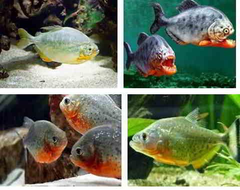 Jenis Ikan Piranha