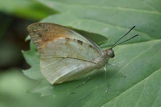 Hebomoia glaucippe - Grande piéride disparate