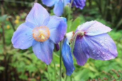 https://commons.wikimedia.org/wiki/File:Himalayan_Blue_Poppy.jpg