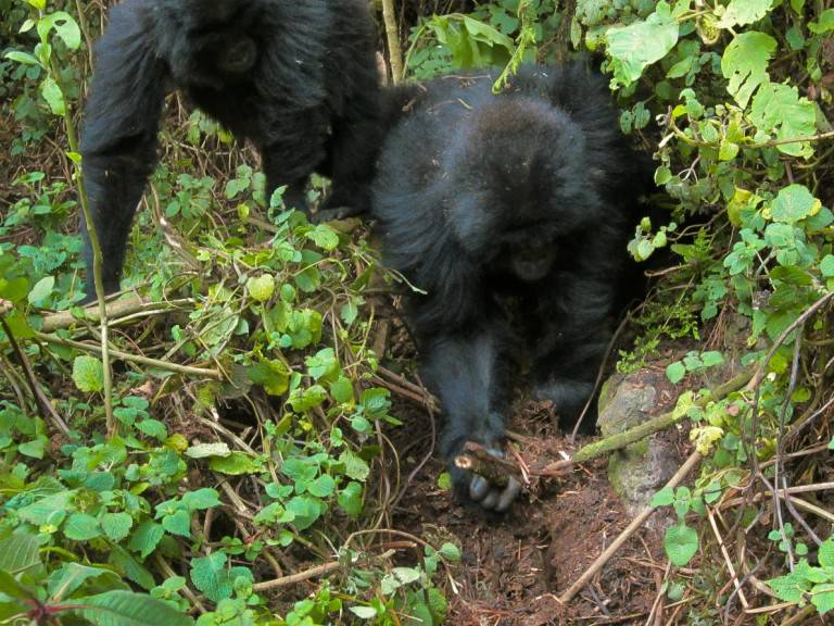 Gorillas have been observed seeking out and destroying poachers' snares after an infant in their group was killed