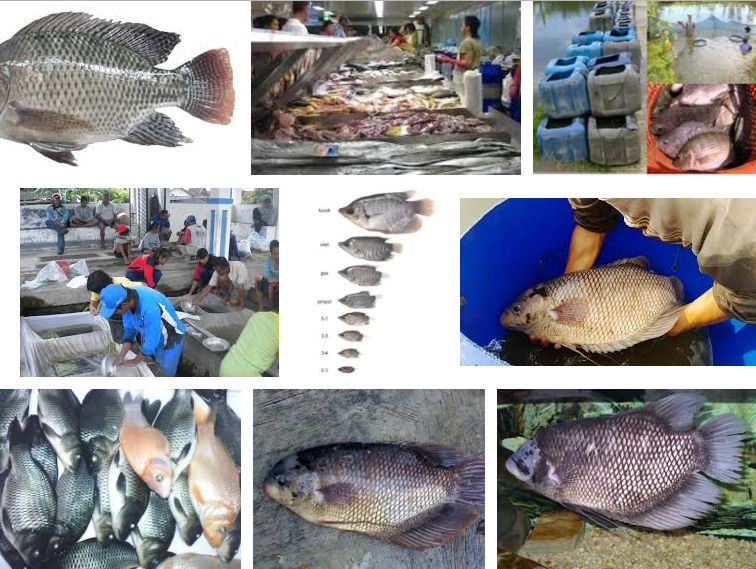Pemasaran Ikan Gurame