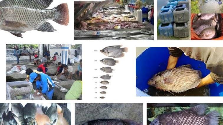 Tips Pemasaran Ikan Gurame Yang Menguntungkan