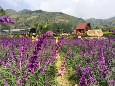 Mùa hoa oải hương ở thung lũng Bắc Hà 5