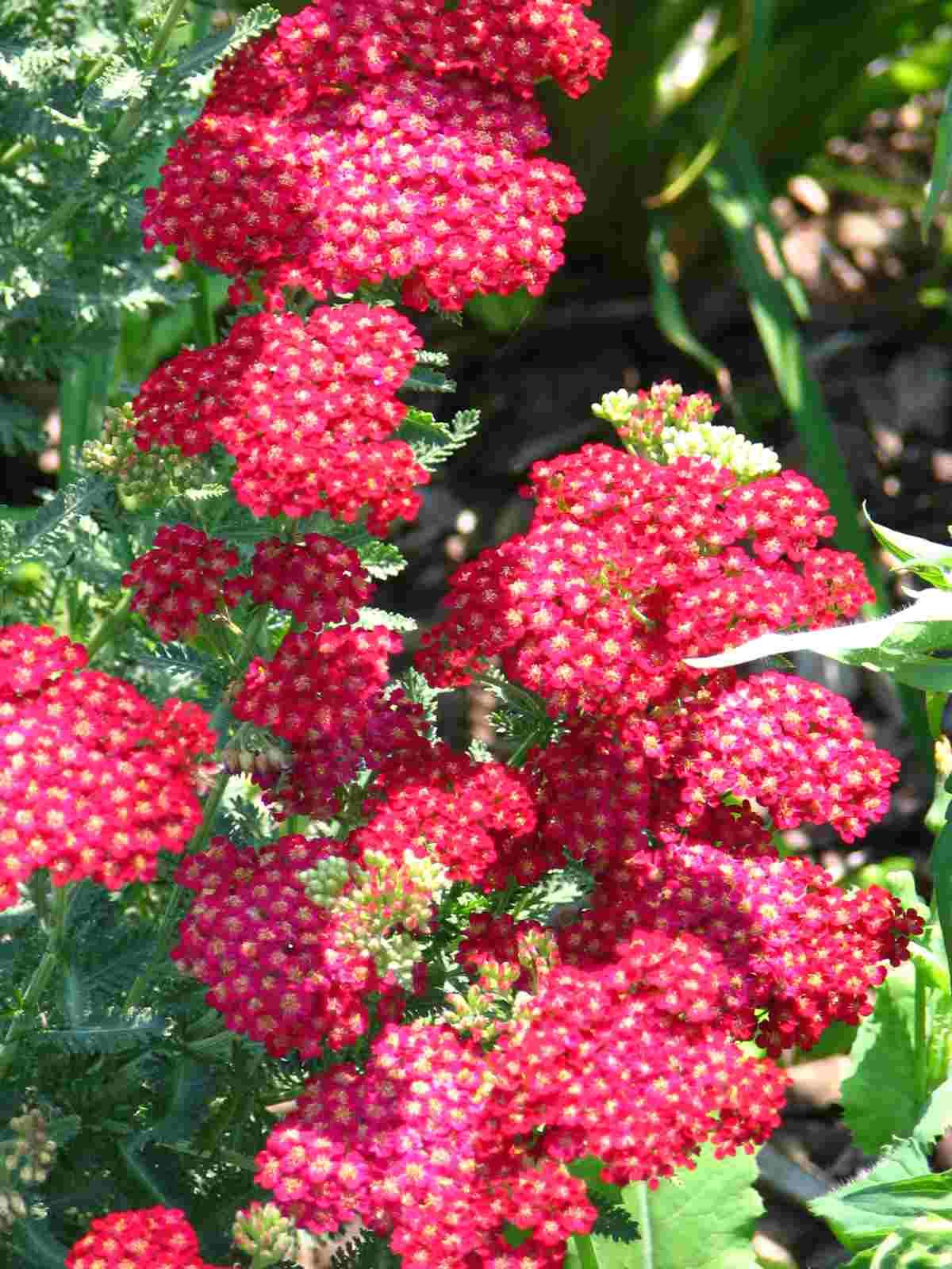 red yarrow flower ruby yarrow flower yellow yarrow flowerYarrow Flower
