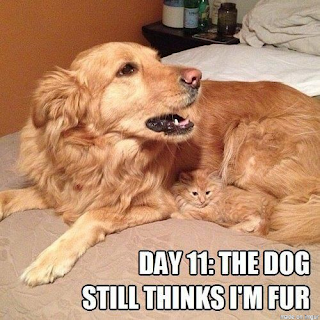 kitten hiding in dog fur camouflage funny