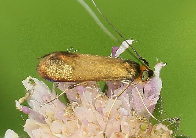 Skabiosen-Langhornmotte, Nemophora metallica