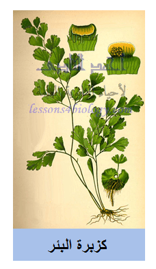 نبات كسبرة البئر - من السراخس