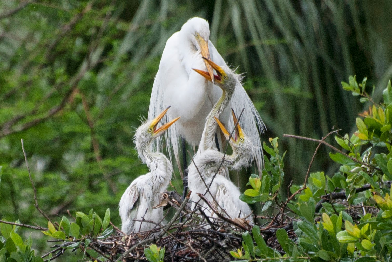 A great egret, Ardea alba, with three hungry chicks
