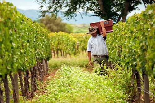 Relacionan uso de pesticidas en uva con índice de cáncer en Tarija