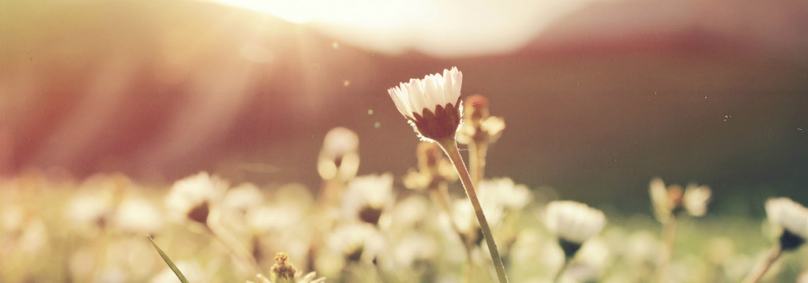 white daisy reaching up to the rising sun
