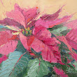 Pink Poinsettia, New Contemporary Floral Painting by Sheri Jones