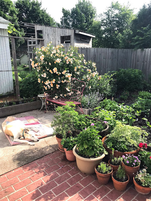 gardening, container gardening, greyhounds, Anne Butera, My Giant Strawberry