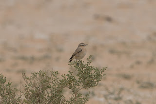 Desert Wheatear - female