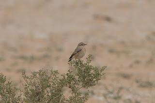 Desert Wheatear - female