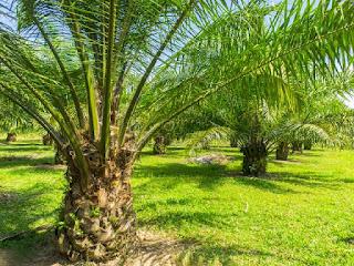 kelapa-sawit-pelepah-panjang.jpg