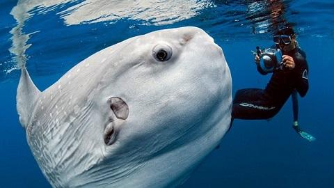 Ay Balığının Resmi ve Özellikleri