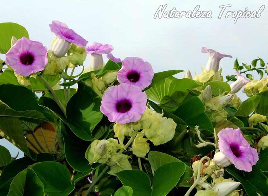 Flores características de una especie del género Ipomoea, plantas trepadoras por excelencia