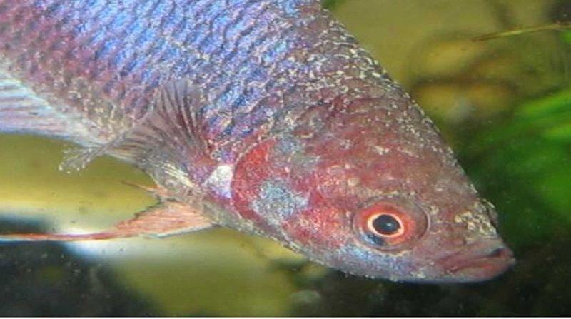 Gambar Jenis Penyakit Ikan Cupang Infeksi Kulit Jamur Dan Cara Mengobatinya