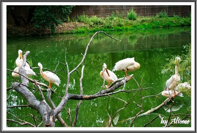 zoo-Nyiregyhaza-ungaria-pelicani