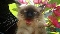 Minha gatinha Safira e a importância de um animal de estimação, as responsabilidades e o projeto de chipagem de gatos e cachorrros em Barretos-SP - Gata Safira no jardim bocejando