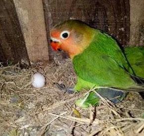 Khasiat/Manpaat Dan Kisaran Harga Saat Ini Vitamin Burung Merk Wgo Agar Burung Lovebird Cepat Bertelur