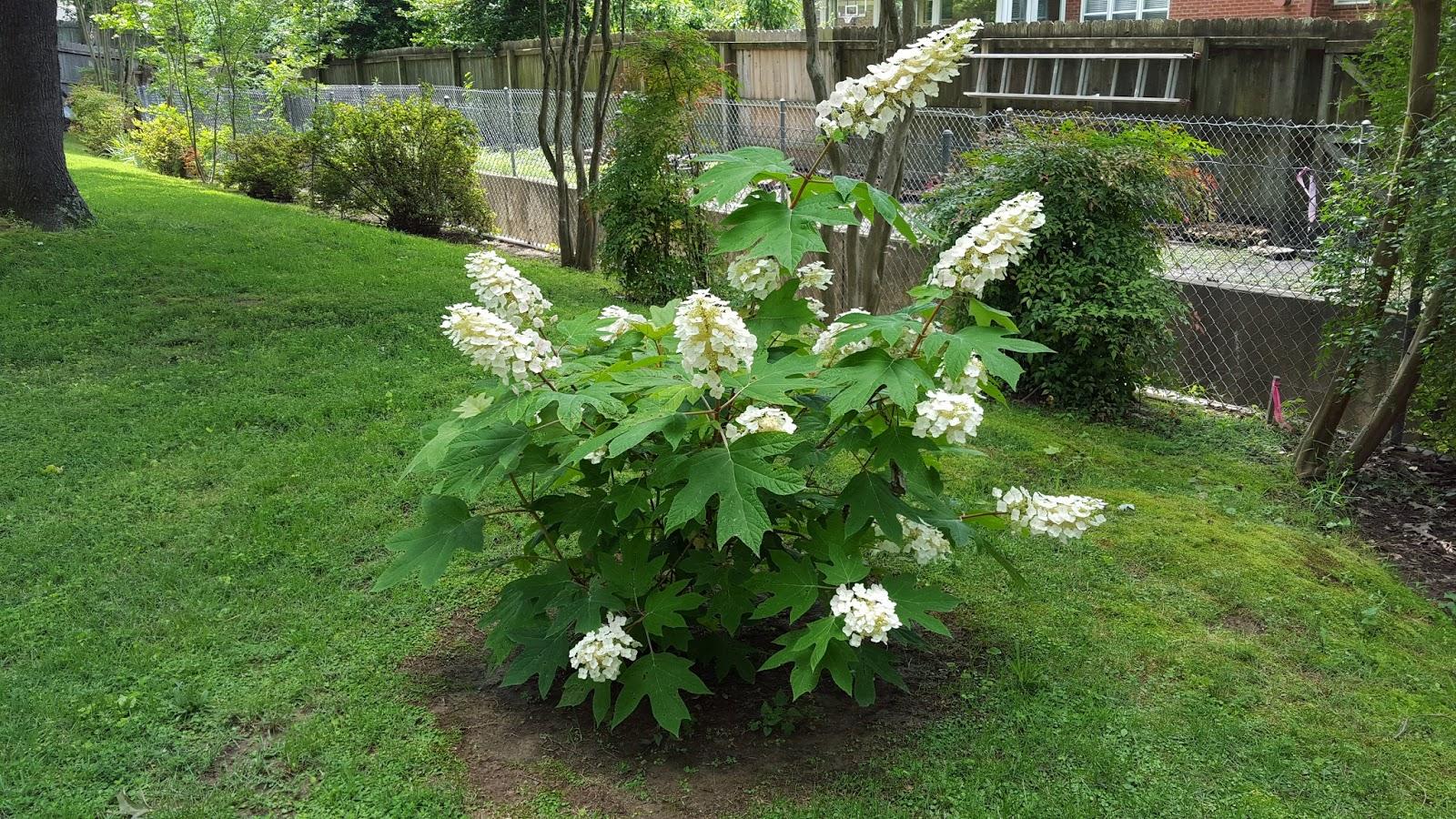 Garden musings from memphis area master gardeners for Hydrangea quercifolia